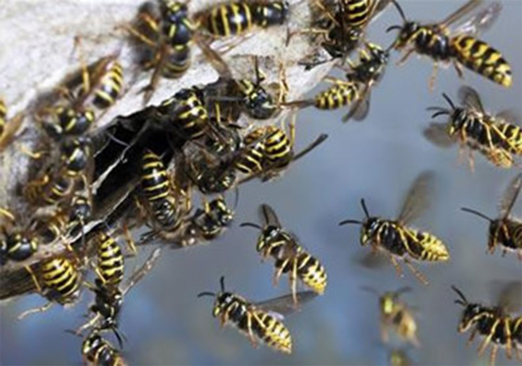 Wasp Control Whalley Range 24/7, same day service, fixed price no extra!