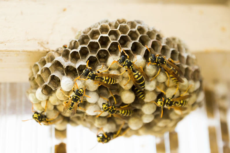 Wasp Control Whalley Range - Wasp nest treatment 24/7, same day service, covering Whalley Range, Stockport and cheshire, fixed price no hidden extras!